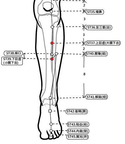 穴位保健─上下巨虛穴(快速停止腸鳴腹瀉)